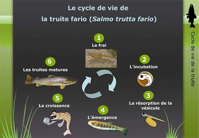 Le Cycle de la Truite (PDF) Cycletruite-grd